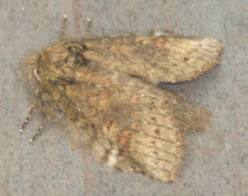 unknown prominent - Heterocampa biundata