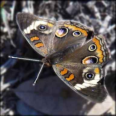 Go Buckeyes - Junonia coenia - male