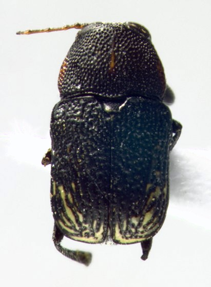 Chrysomelidae, dorsal - Pachybrachis luridus