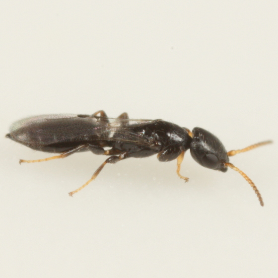 Parasitoid of Phyllonorycter intermixta - Goniozus
