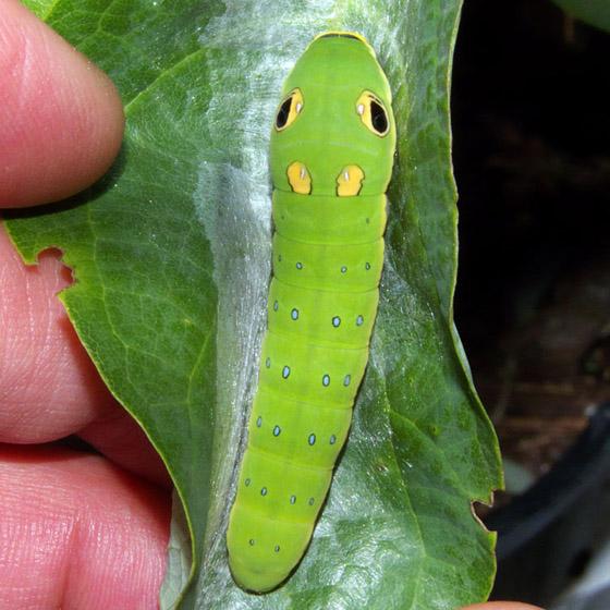 Spicebush Swallowtail Caterpillar - Papilio troilus