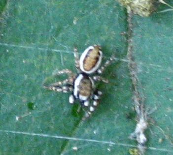Jumping Spider - Pelegrina proterva