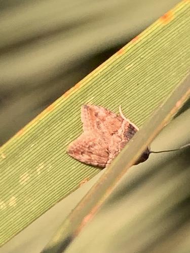 Moth ID - Garella nilotica