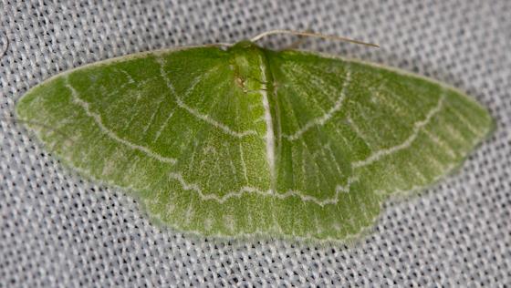 Emerald? - Synchlora aerata