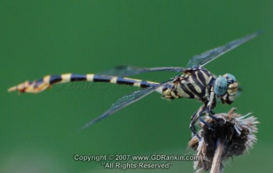 Five-striped Leaftail - Phyllogomphoides stigmatus - male