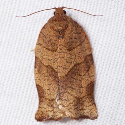 Oblique-banded Leafroller Moth - Hodges #3635 - Choristoneura rosaceana