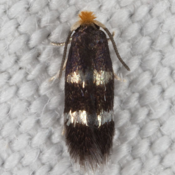 Nepticulidae IMG_1707 - Stigmella prunifoliella