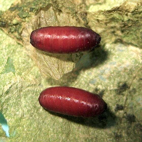 Pupae - Pegomya