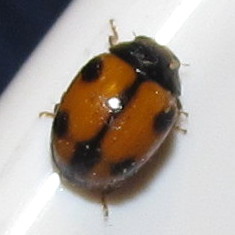 White-fronted Lady Beetle - Brachiacantha albifrons