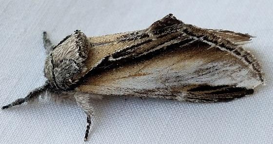 Pheosia rimosa (Black-Rimmed Prominent) - Pheosia rimosa