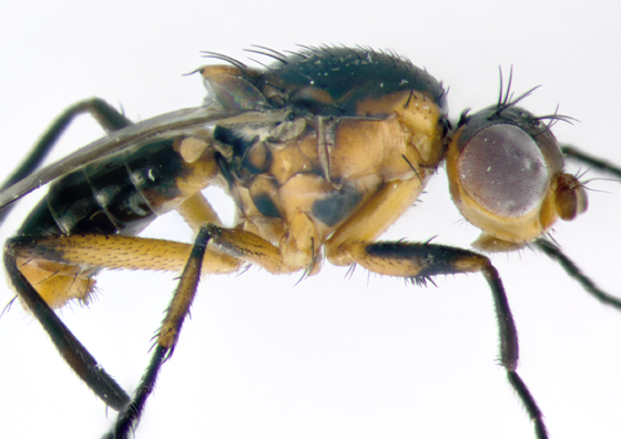 Sepsidae, lateralX - Saltella sphondylii