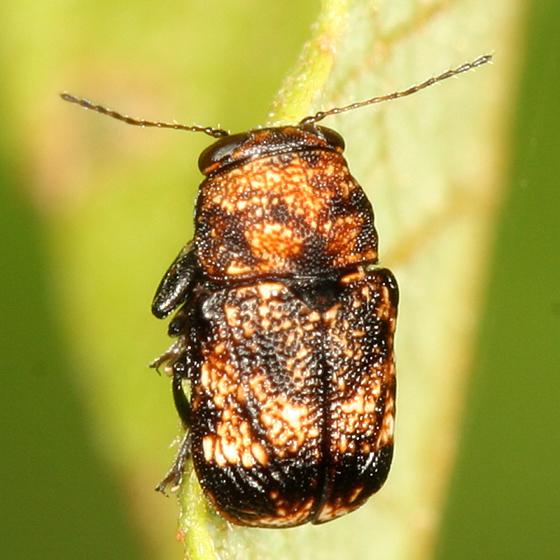Casebearer - Pachybrachis spumarius