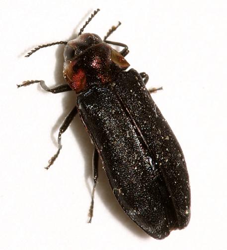 Metallic Wood-boring Beetle - Eupristocerus cogitans
