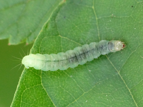 Image result for tortricid moth caterpillar