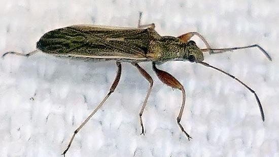 seed bug - Paromius longulus
