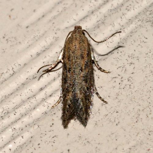 Micro moth - Scrobipalpula artemisiella