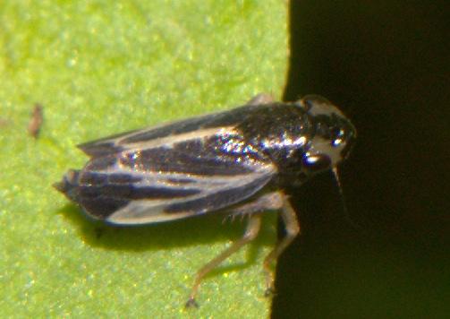 Hopper ID Request - Evacanthus nigramericanus