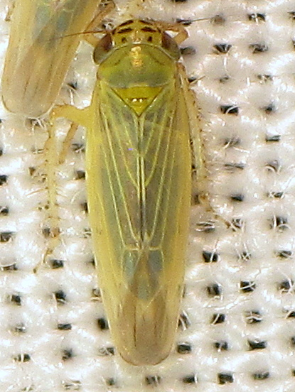M. quadrilineatus? - Macrosteles