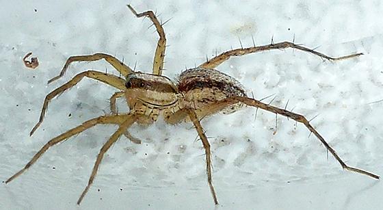 Agile spider - Pardosa distincta - female