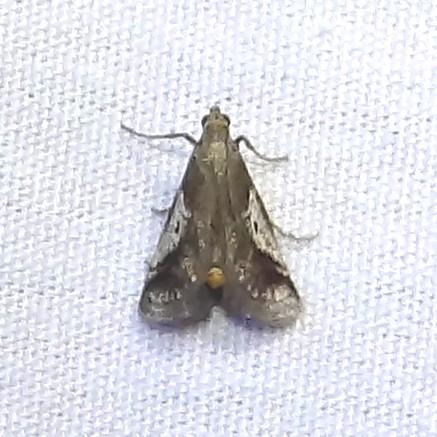 ID Request - Alpheias oculiferalis