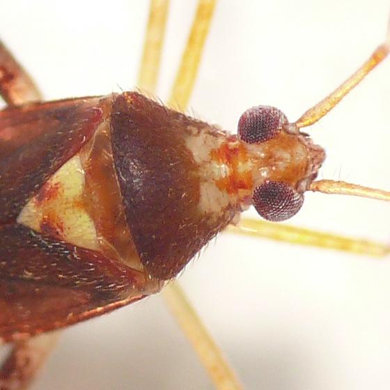 Phytocoris infuscatus