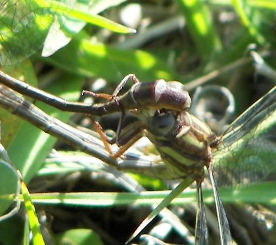 Mating couple - Phanogomphus minutus - male - female