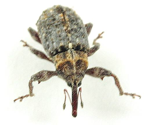 Weevil --? - Coccotorus scutellaris