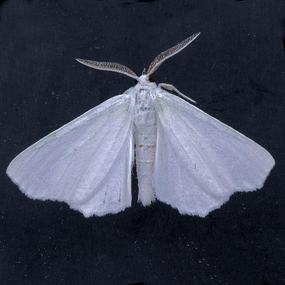 6789 Elm Spanworm  - Ennomos subsignaria - male