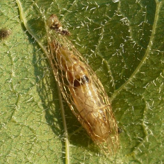 caterpillar - cocoon - Acrolepiopsis heppneri