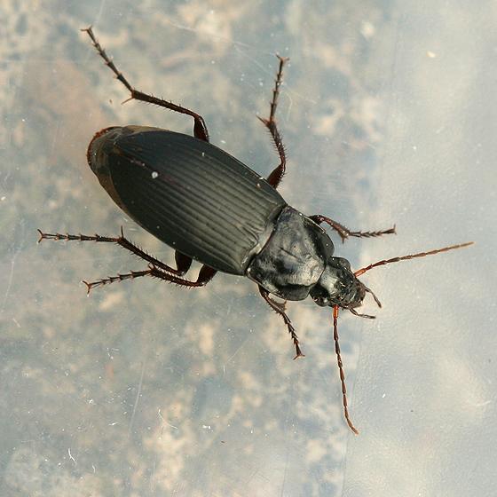 Black Ground Beetle - Calathus fuscipes