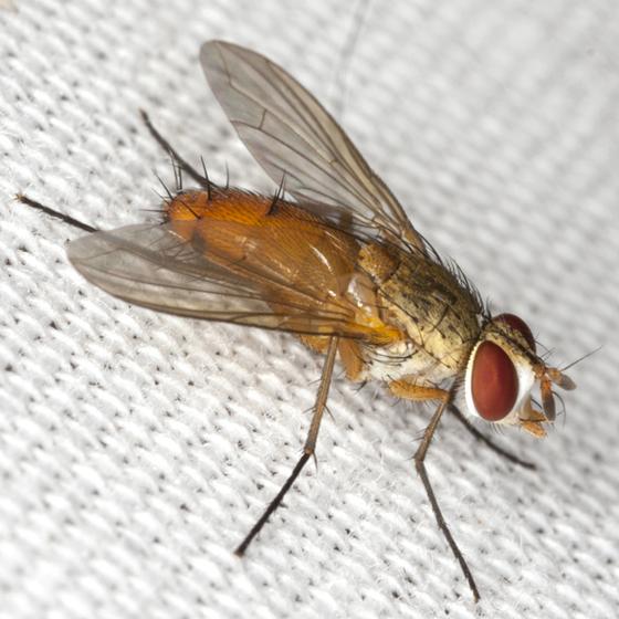 Tachinid Fly - Leskia