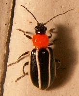 Beetle differences - Acalymma vinctum