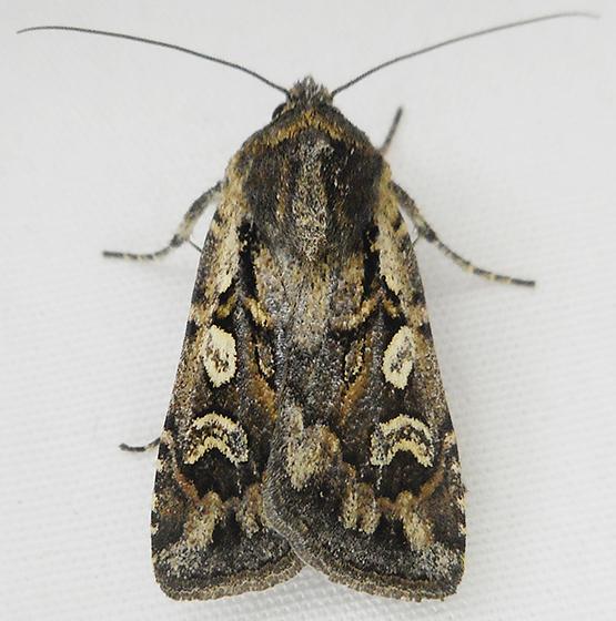 Moth - Euxoa henrietta