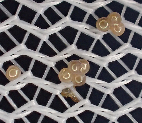 moth: her eggs - Mythimna unipuncta