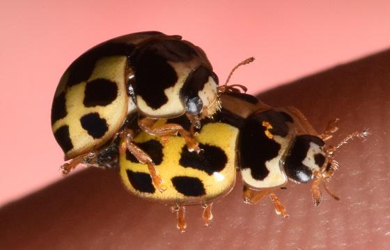 Propylea quatuordecimpunctata pair - Propylea quatuordecimpunctata - male - female