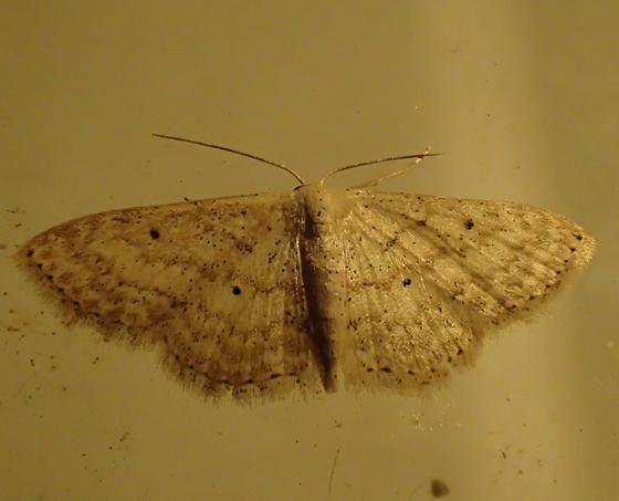 moth - Scopula aemulata