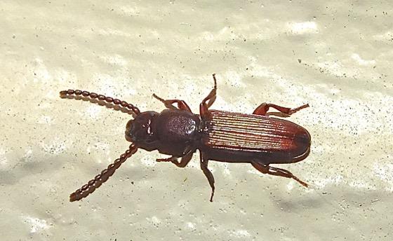 Bark Beetle? - Catogenus rufus