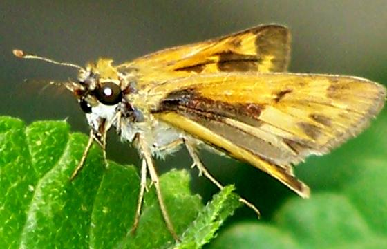 Hylephila phyleus - female