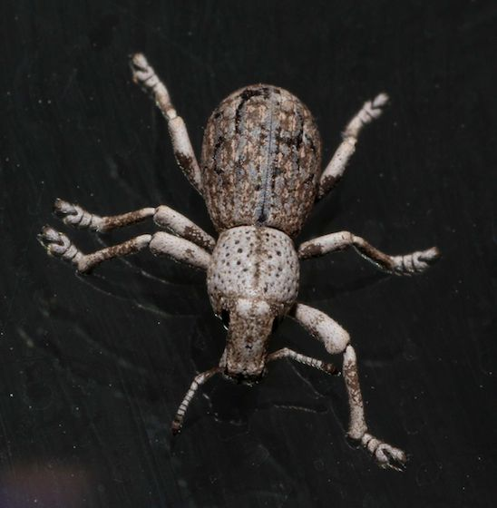 Small Weevil - Ophryastes