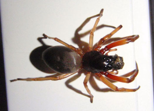 Reddish Brown Spider - Trachelas