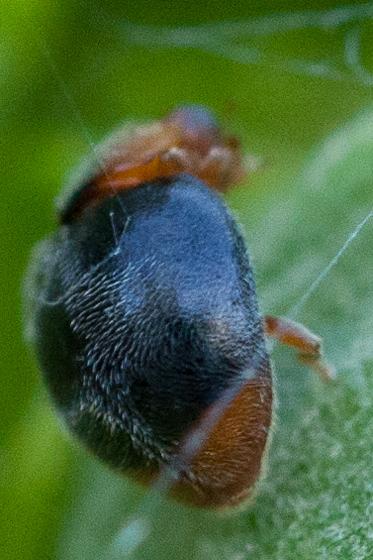 Small beetle - Scymnus
