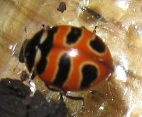 which ladybird - Coccinella trifasciata