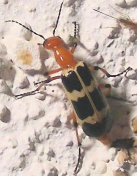 Cream & Blk Beetle w Orange front end - Pyrota palpalis