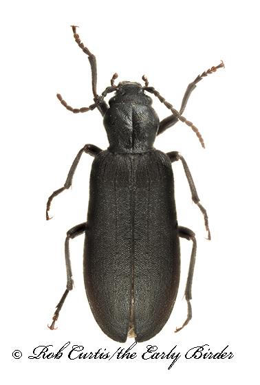 9020466 Oedemird - Ditylus caeruleus