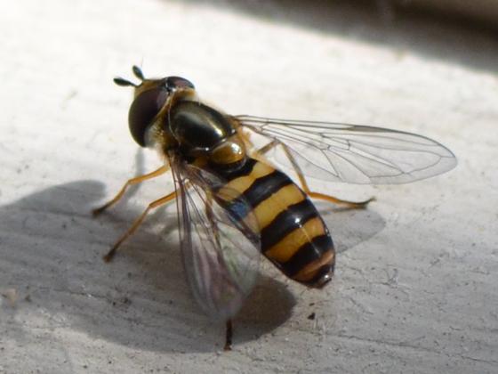 Glossy bee - Eupeodes