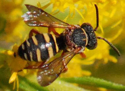 Little Wasp? on Goldenrod - Epeolus carolinus - male