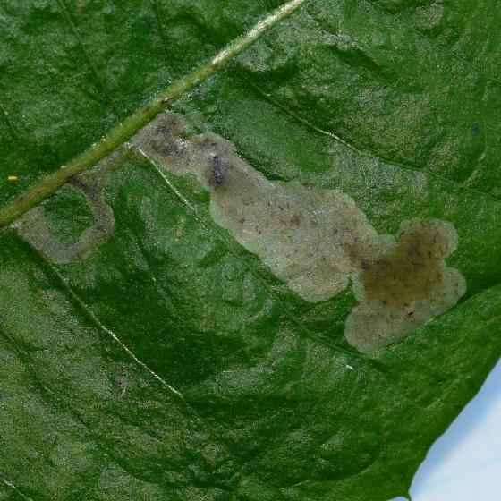 leaf mine on Dandelion - Liriomyza taraxaci