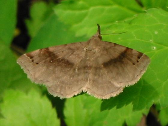 Six-spotted Gray - Spargaloma sexpunctata