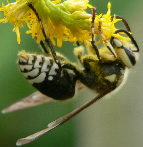 Baldfaced Hornet - Dolichovespula maculata - male