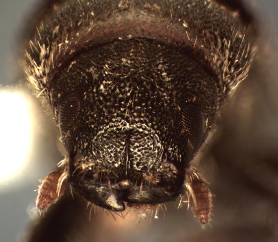 Pseudohylesinus maculosus Blackman - Pseudohylesinus maculosus